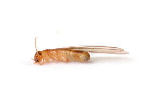 Le termite un insecte qui a un cycle de reproduction très court