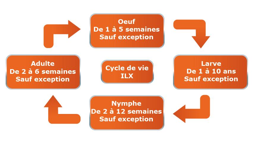 Cycle de vie des insectes à larves xylophages